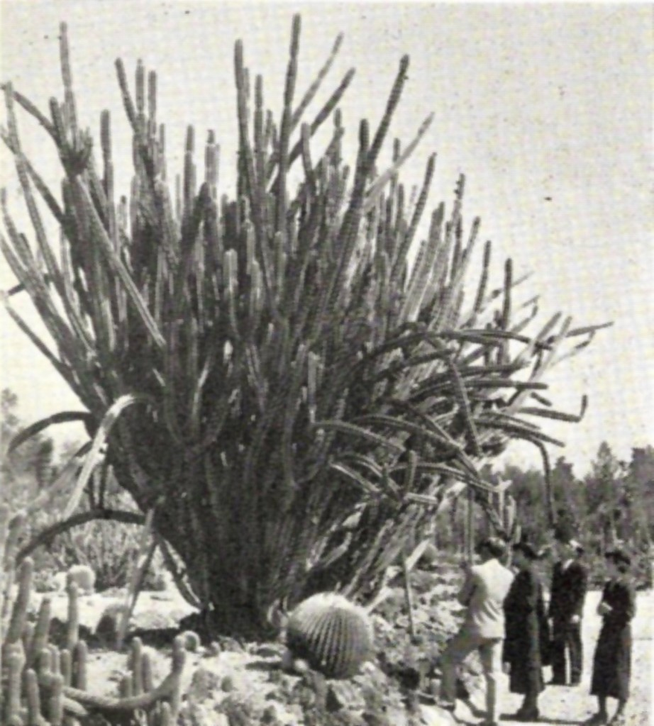 Cactus garden, Huntington Botanical Gardens. The cactus and other succulent collections cover fifteen acres and comprise about 25,000 specimens. In this view may be seen a twenty-year-old specimen of Cereus Xanthocarpus, a native of Paraguay. Mount Lowe Preservation Society Inc. Collection